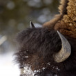 Stock Photo: Bison Buffalo Wyoming Yellowstone