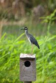 Little Blue Heron on birdhouse — Stock Photo