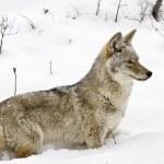Yellowstone Park Wyoming Winter Snow coyote — Stock Photo #4771493