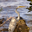 Great White Egret near Florida waters — Stock Photo