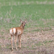 Pronghorn Antelope Young Fawn — Stock Photo