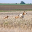 Pronghorn antelopes in field — Stock Photo #4779357
