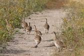 Sharp tailed Grouse family along path — Stock Photo