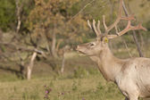 Mannelijke elanden in veld — Stockfoto