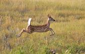Biały rozkładem jelenia płowy skacząc w dziedzinie — Zdjęcie stockowe