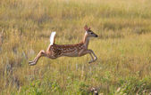 White tailed Deer fawn leaping in field — Stok fotoğraf