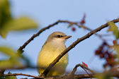 Baby Western Kingbird Saskatchewan — Stock Photo