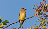 Western Kingbird perched in tree — Stock Photo