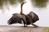 Anhinga Drying it's wings Sarasota Florida — Stock Photo