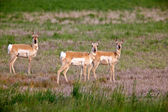 Pronghorn antelopes in field — Stock Photo