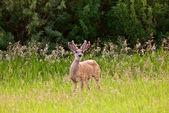 Buck with velvet on antlers — Stock Photo