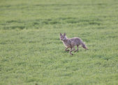 Coyote running through field — Stock Photo