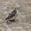 Redtail Hawk on Fisher kill Northern ManitobCanada — Foto de stock #4780982