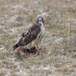 Redtail Hawk on Fisher kill Northern Manitoba Canada — Stock Photo