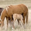 Horse and Colt in Pasture Saskatchewan Canada — Stock Photo #4788111