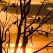 Cormorants in Tree at Sunset — Stock Photo