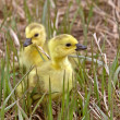 Baby Geese Goslings in Grass Saskatchewan — Stock Photo