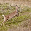 Deer Running in Field Canada — Stock Photo