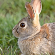 Bush Rabbit Bunny Saskatchewan Canada — Stock Photo