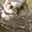 Great Horned Owl Babies Owlets in Nest — Stock Photo