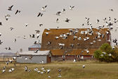 Snow geese in flight rural Saskatchewan — Stock Photo