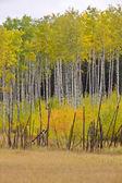 Fall Autumn colors trees Manitoba Canada — Stock Photo