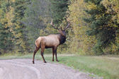 Bull Elk Saskatchewan Canada — Stock Photo