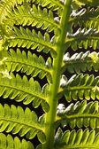 Close up fern Canada — Stock Photo