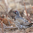 Stock Photo: Spruce Grouse SaskatchewCanada