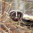 Young Skunk in the Grass Saskatchewan Canada — Stock Photo