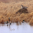 Canada Geese and Mallard Ducks in Spring — Stock Photo