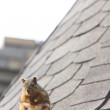 Stock Photo: Squirrel on Rooftop Saskatchewan