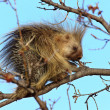 Porcupine in tree Saskatchewan Canada - Stock Photo