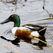 Stock Photo: Northern Shoveler Saskatchewan Canada