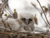 Great Horned Owl Babies in Nest — Stockfoto