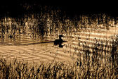 Sillouette of Duck in Pond Sunset Saskatchewan Canada — Stock Photo