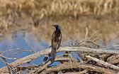 Common Grackle Blackbird Canada — Stock Photo