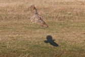 Great Horned Owl Saskatchewan in Flight — Stock Photo