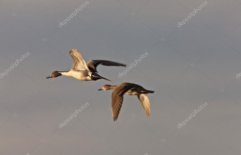 canada goose prices