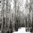 Aspen trees Saskatchewan in Winter — Stock Photo