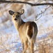 Deer in Winter Saskatchewan Canada — Stock Photo