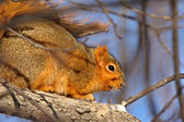 Red Squirrel in Winter — Stock Photo