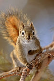 Red Squirrel in Winter Canada — Stock Photo