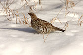Sharp Tailed Grouse in Winter Canada — Stock Photo