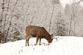 Mule Deer buck grazing in winter — Stock Photo
