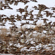 Large flock of Mallard Ducks during fall migration — Stock Photo #4852048