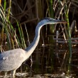 Stock Photo: Great Blue Heron wading in Saskatchewmarsh