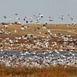 Huge flock of Snow Geese in Saskatchewan during fall migration — Stock Photo #4852146