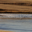 Huge flock of Snow Geese in Saskatchewan during fall migration — Stock Photo #4852156