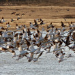Huge flock of Snow Geese in Saskatchewan during fall migration — Stock Photo #4852160